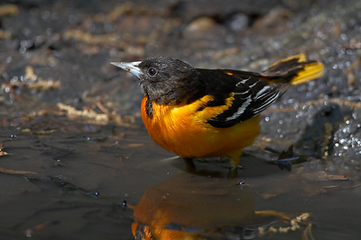 Baltimore Oriole bathing in Central Park