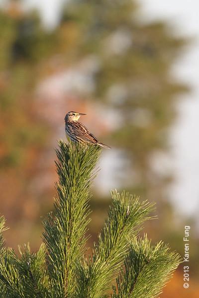 27 Oct: Eastern Meadowlark at Jones Beach