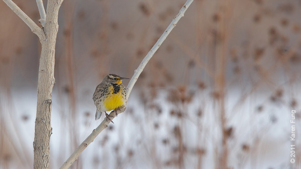 4 December: Western Meadowlark in San Antonio, NM