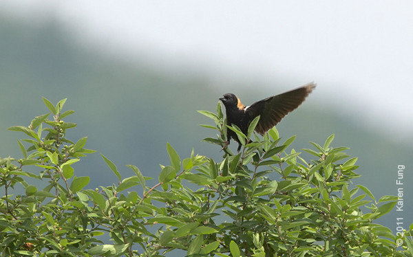 29 May: Bobolink in Orange County (hailing a taxi?)