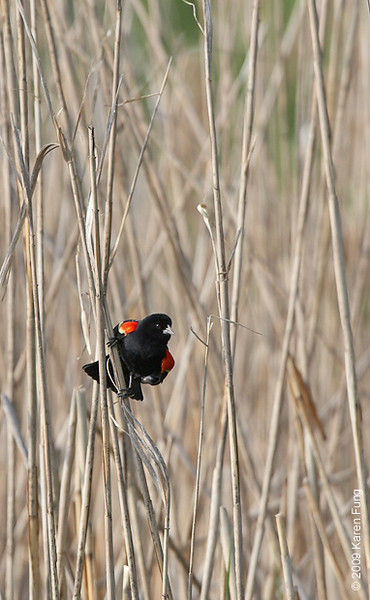 May 25th: Male Red-winged Blackbird showing off his epaulets in Rockland County