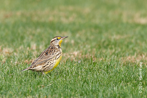 3 Nov: Eastern Meadowlark in Van Cortlandt Park