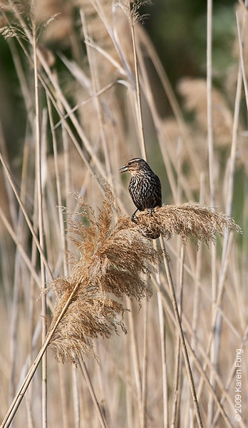 May 25th: Female Red-winged Blackbird calling in Rockland County