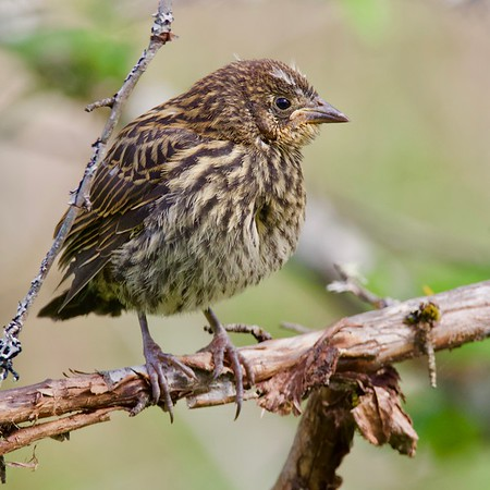 Red-winged Blackbird fledgling
