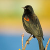 Red-winged Blackbird, Novato, California
