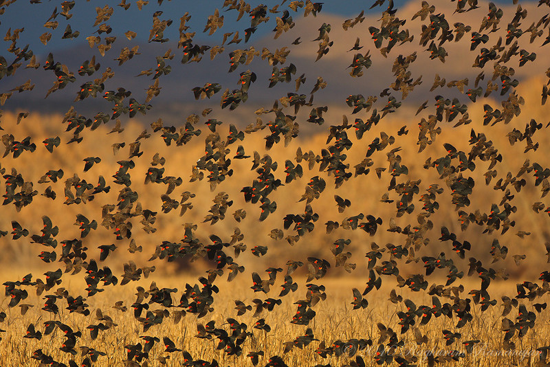 Red-winged Blackbirds<br /> Bosque del Apache, NM
