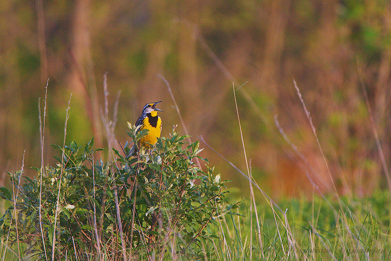 Eastern Meadowlark<br /> Ithaca, NY