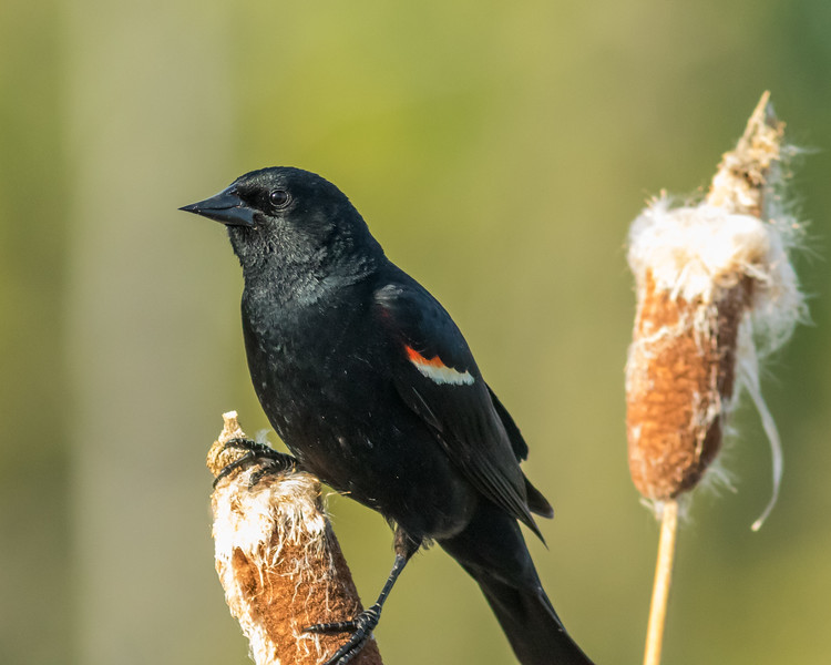 Red-winged Blackbird, Tetlin National Wildlife Refuge, Alaska