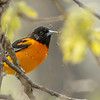 Baltimore Oriole, Prince Edward Point National Wildlife Area, Ontario