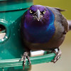 Common Grackle, Belleville, Ontario