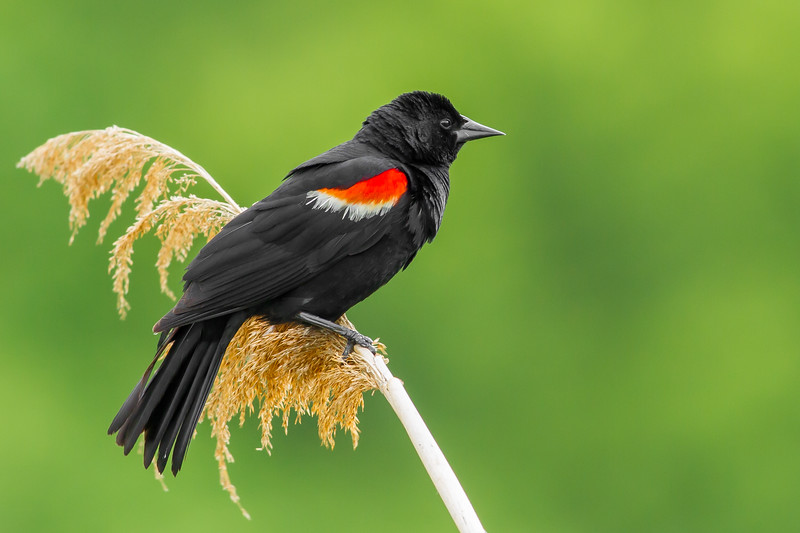 Red-winged Blackbird, Frink Centre Conservation Area, Ontario