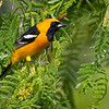 Hooded Oriole, Sarita Courthouse, Texas