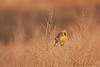 Western Meadowlark<br /> Bosque del Apache, NM
