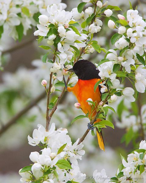 Baltimore Oriole<br /> Ithaca, NY