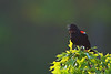 Red-winged Blackbird<br /> Ithaca, NY