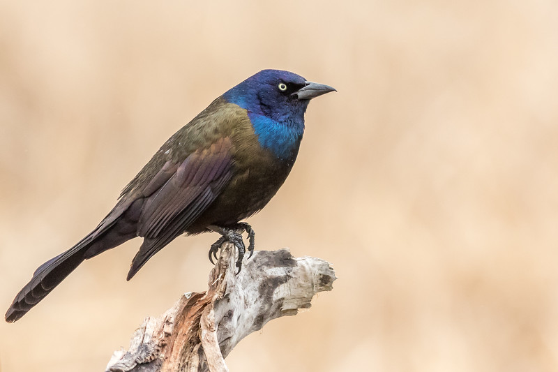 Common Grackle, Delta Beach, Manitoba