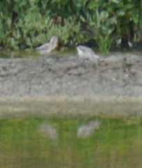 2 baby avocets 1