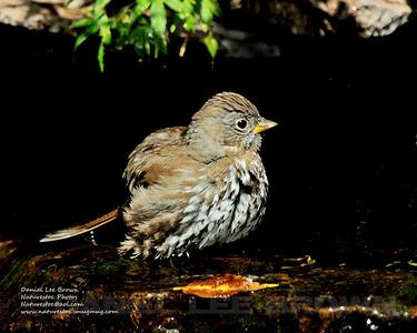 Fox Sparrow, Hummingbird, Sac. Co. CA, 5-9-14. Cropped image.