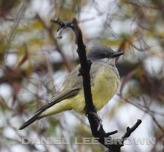PROBABLE CASSIN'S KINGBIRD, SAC, NWR, 11-26-16, PHOTOS BY PAM STARR