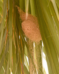 HOODED ORIOLE, nest onle