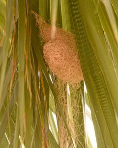 HOODED ORIOLE, nest onle