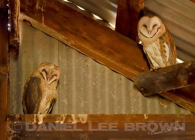 BARN OWL, owlets
