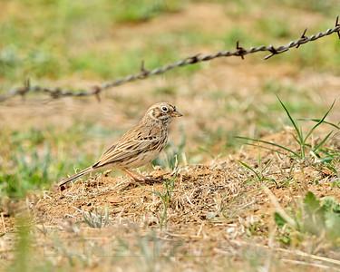 Vesper Sparrow, Mariposa County, CA 3-25-14. Cropped image.
