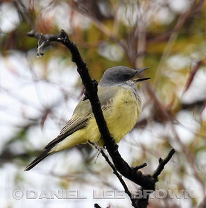 PROBABLE CASSIN'S KINGBIRD, SAC, NWR, 11-26-16, PHOTOS BY PAM STARR