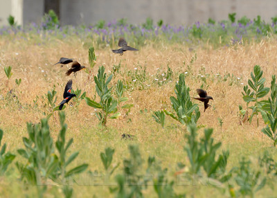 Tricolored Blackbirds, Old Placerville Rd. and Happy Ln. Cropped image.