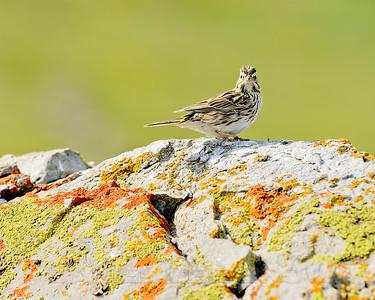 Savannah Sparrow, Mariposa County, CA, 3-25-14. Cropped image.