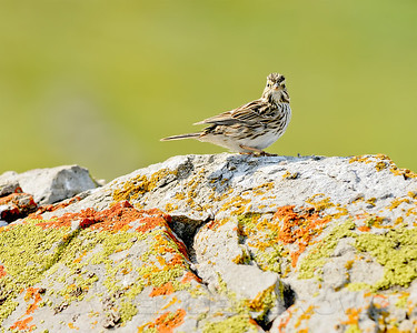 Savannah Sparrow, Mariposa County, CA, 3-25-14. Cropped image.