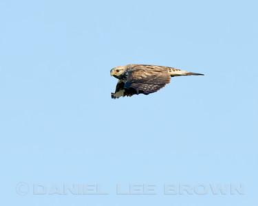 Rough-legged Hawk, Merced County, CA, 3-25-14. Cropped image.