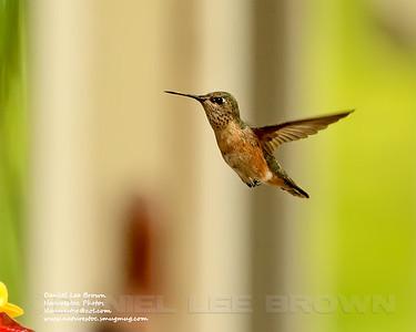 Female Calliope Hummingbird, Sac. Co. CA, 5-9-14. Cropped image.
