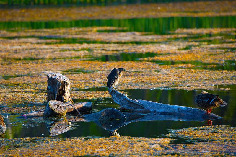 Green Heron & Mallard Duck