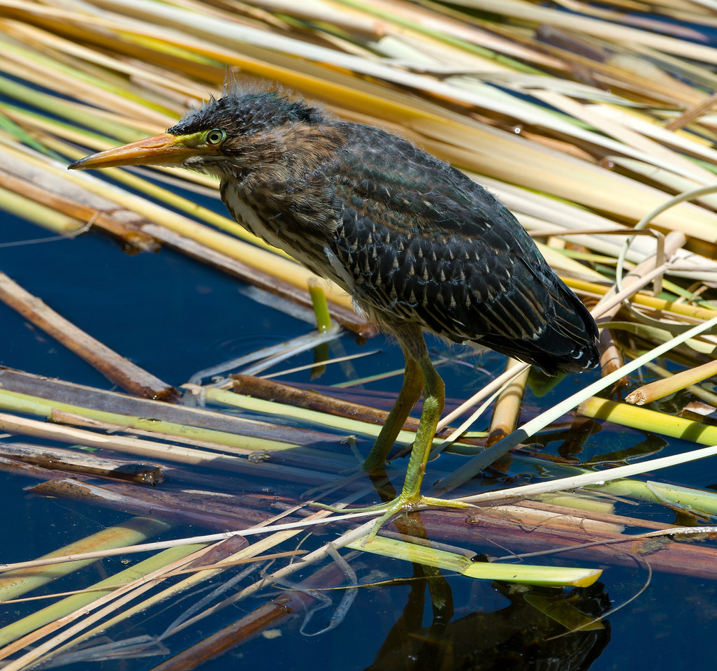 Immature Green Heron
