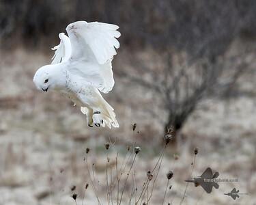 Snowy Owl_2019-03-14_2