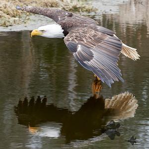 Bald Eagle_2019-03-14_9