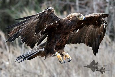 Golden Eagle_2019-03-14_15