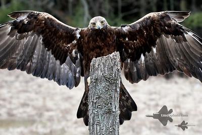 Golden Eagle_2019-03-14_11