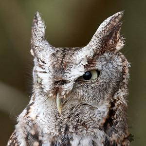 Eastern Screech-Owl_2019-03-14_2