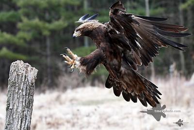 Golden Eagle_2019-03-14_18