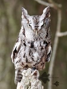Eastern Screech-Owl_2019-03-14_1