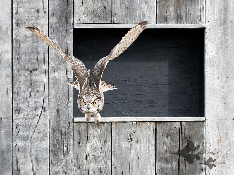 Great Horned Owl_2019-03-14_10
