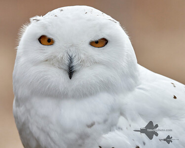 Snowy Owl_2019-03-14_5