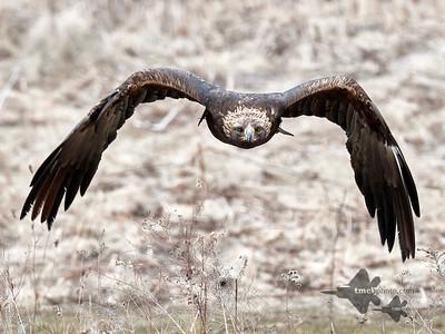 Golden Eagle_2019-03-14_4