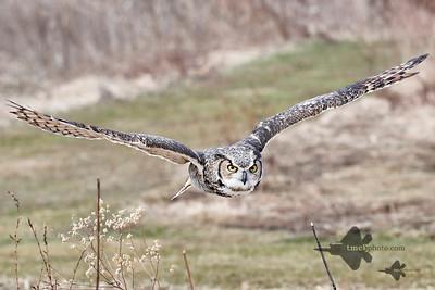 Great Horned Owl_2019-03-14_3