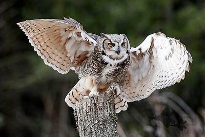 Great Horned Owl_2019-03-14_1