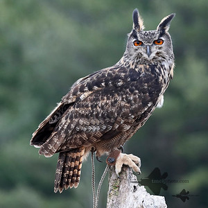 Eurasian Eagle-Owl_2019-03-14_1