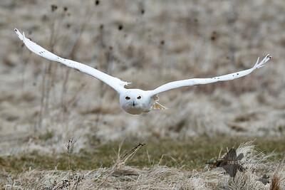 Snowy Owl_2019-03-14_1
