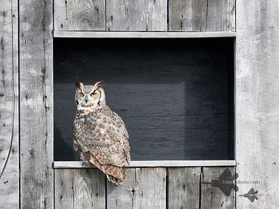 Great Horned Owl_2019-03-14_9